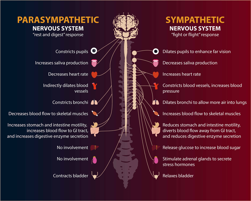 What you need to know about our autonomic nervous system and stress