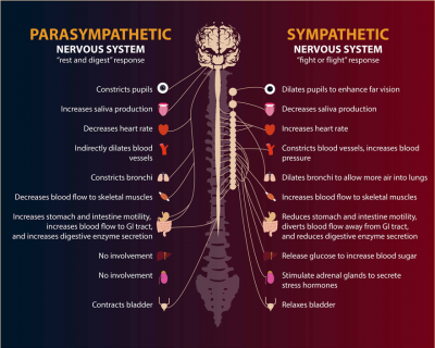 An illustration showing the functions of the parasympathetic and sympathetic nervous systems